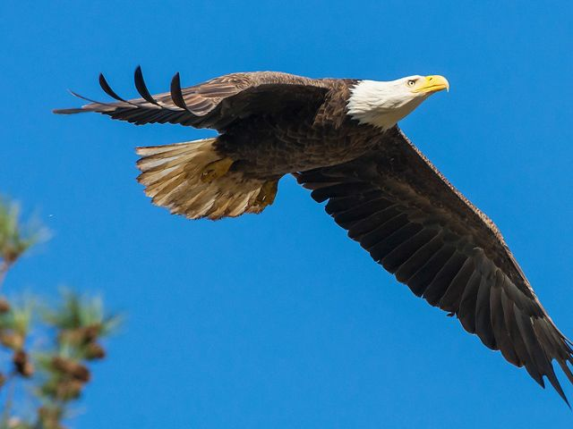 A female bald eagle soars through the sky.