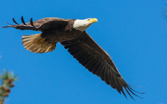 A bald eagle with black colored feathers on its body and white colored feathers on its head, with a yellow beak, soars against a blue sky background.