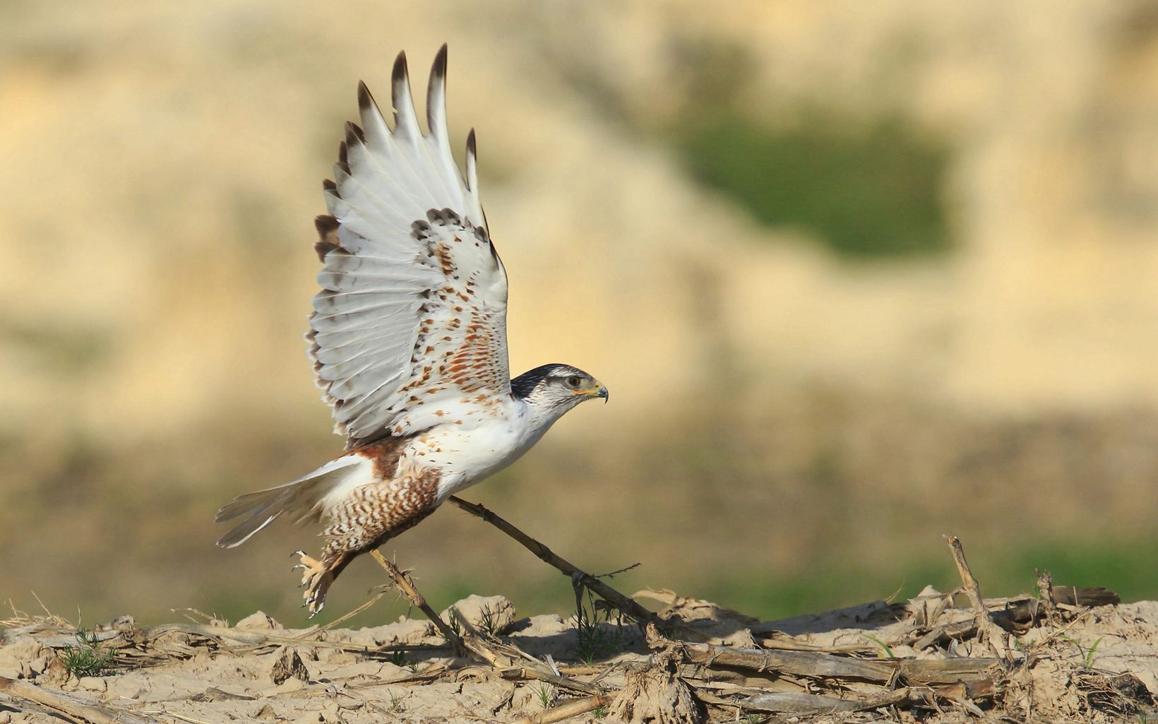 Most nests in Kansas are found in the western chalk bluffs and along the Smoky Hill River.