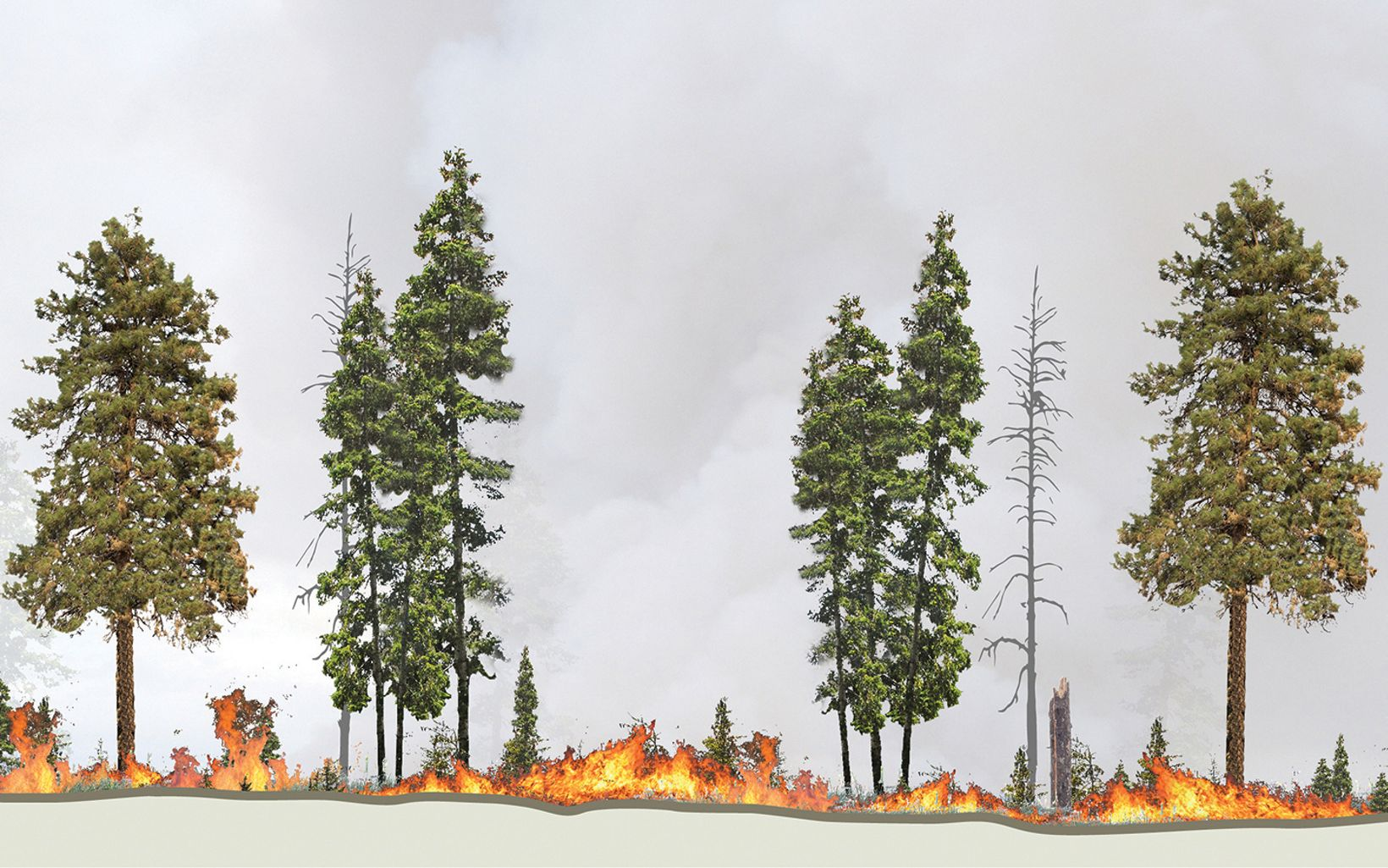 A thinned stand of trees with fire only on the ground in and low branches.