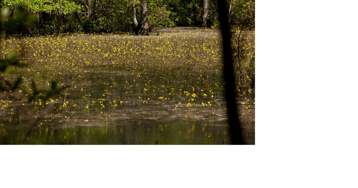 Wetland at Piney Grove Preserve, Sussex Co., Virginia.