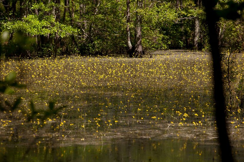 A wetland at Piney Grove Preserve. Yellow flowers on tall, slender stems rise out of a shallow wetland area lined with tall trees.
