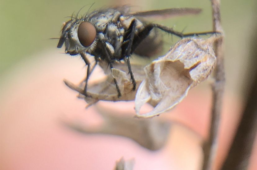 A close up macro view of a black fly sitting on a dried brown leaf.