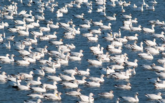 Several white snow geese take over a green lake.