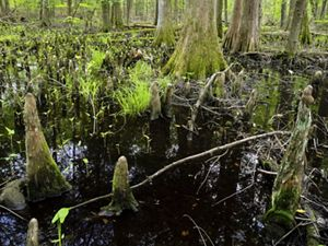 Cypress swamp on Maryland's Eastern Shore.