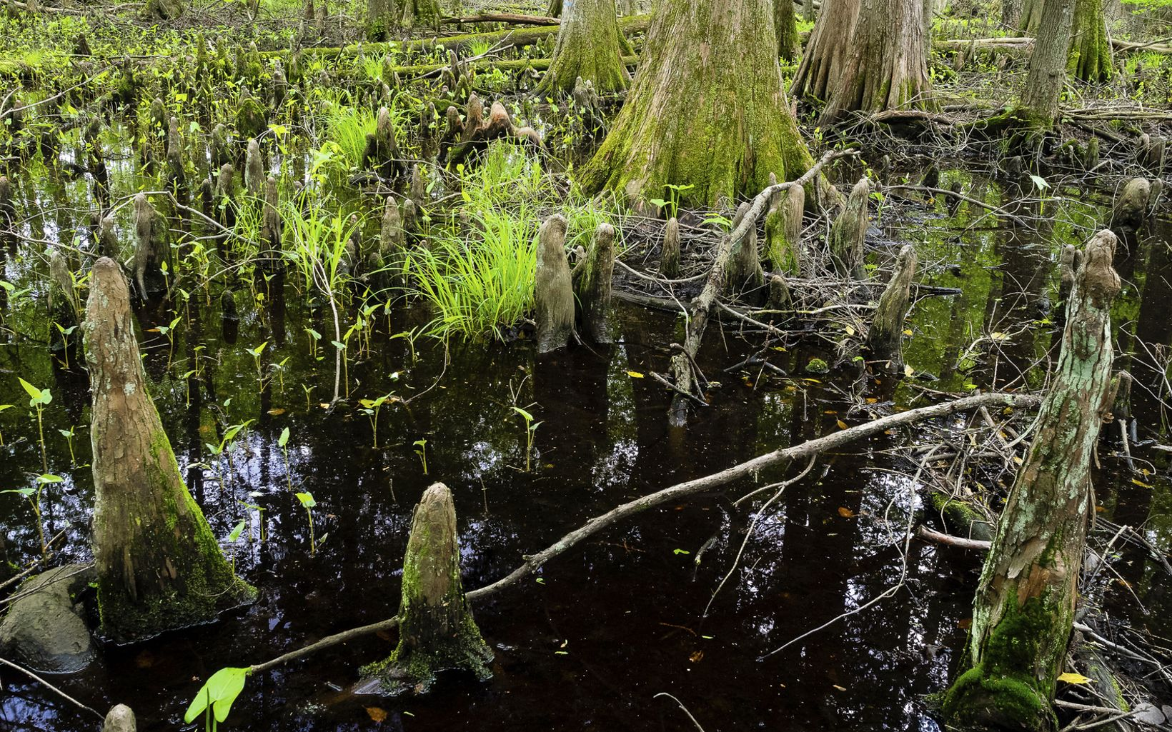 Towering cypress trees, cypress knees and bright green foliage rise from the swamp waters in Nassawango Creek Preserve.