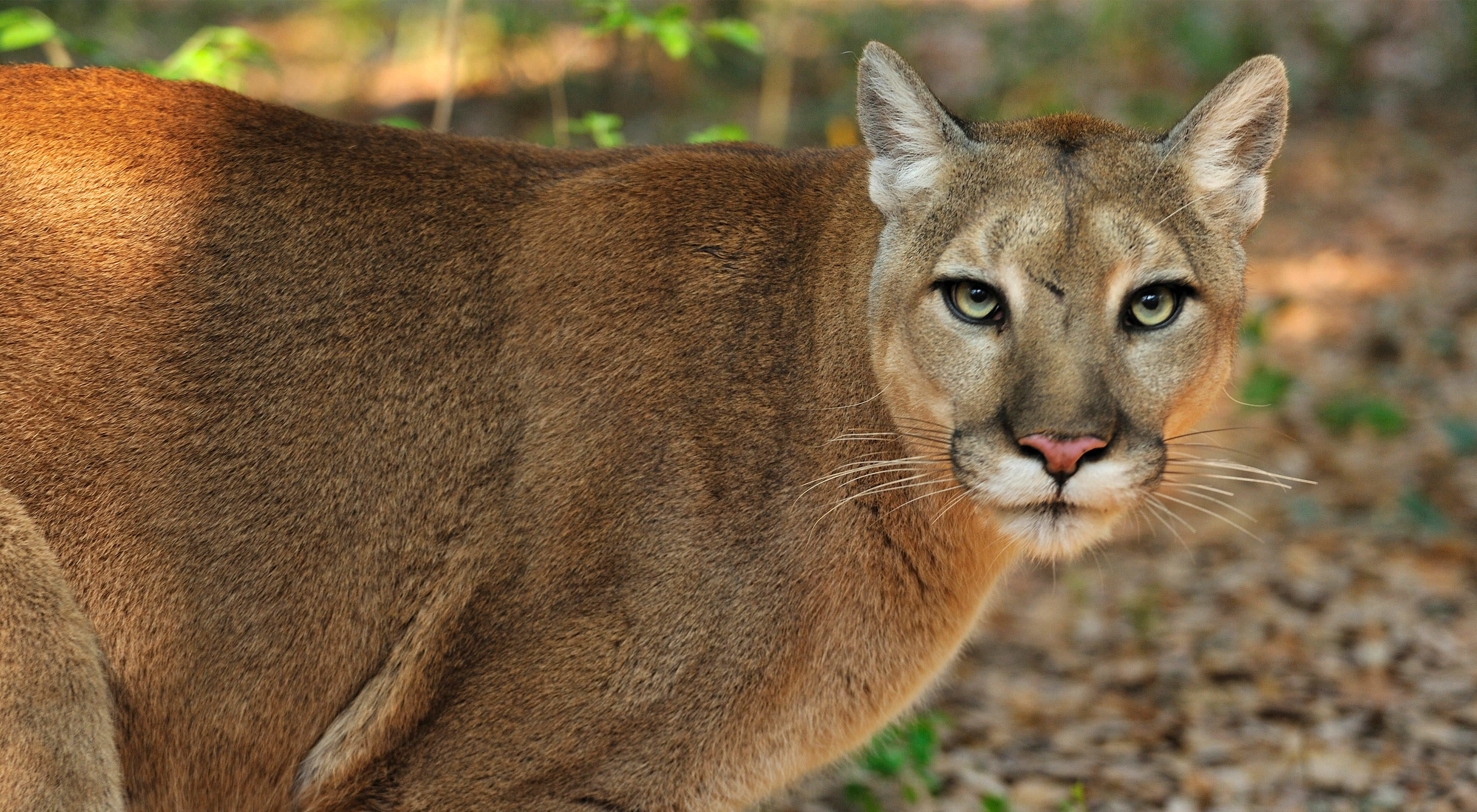 Image result for The Florida Panther