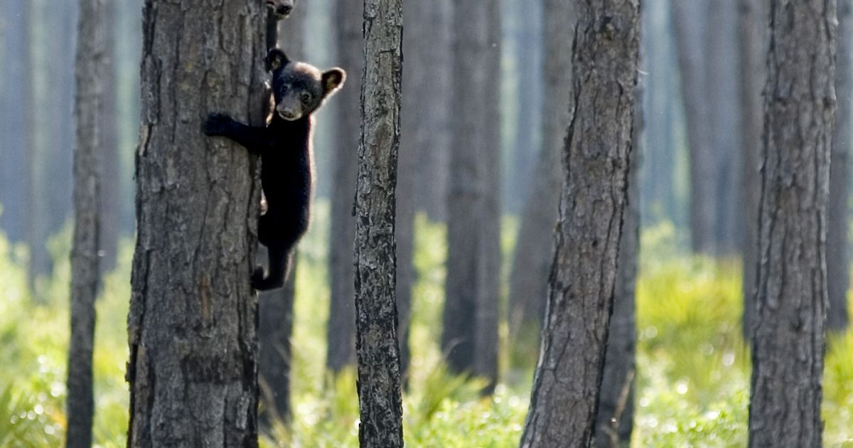 Florida black bear mother with two cubs