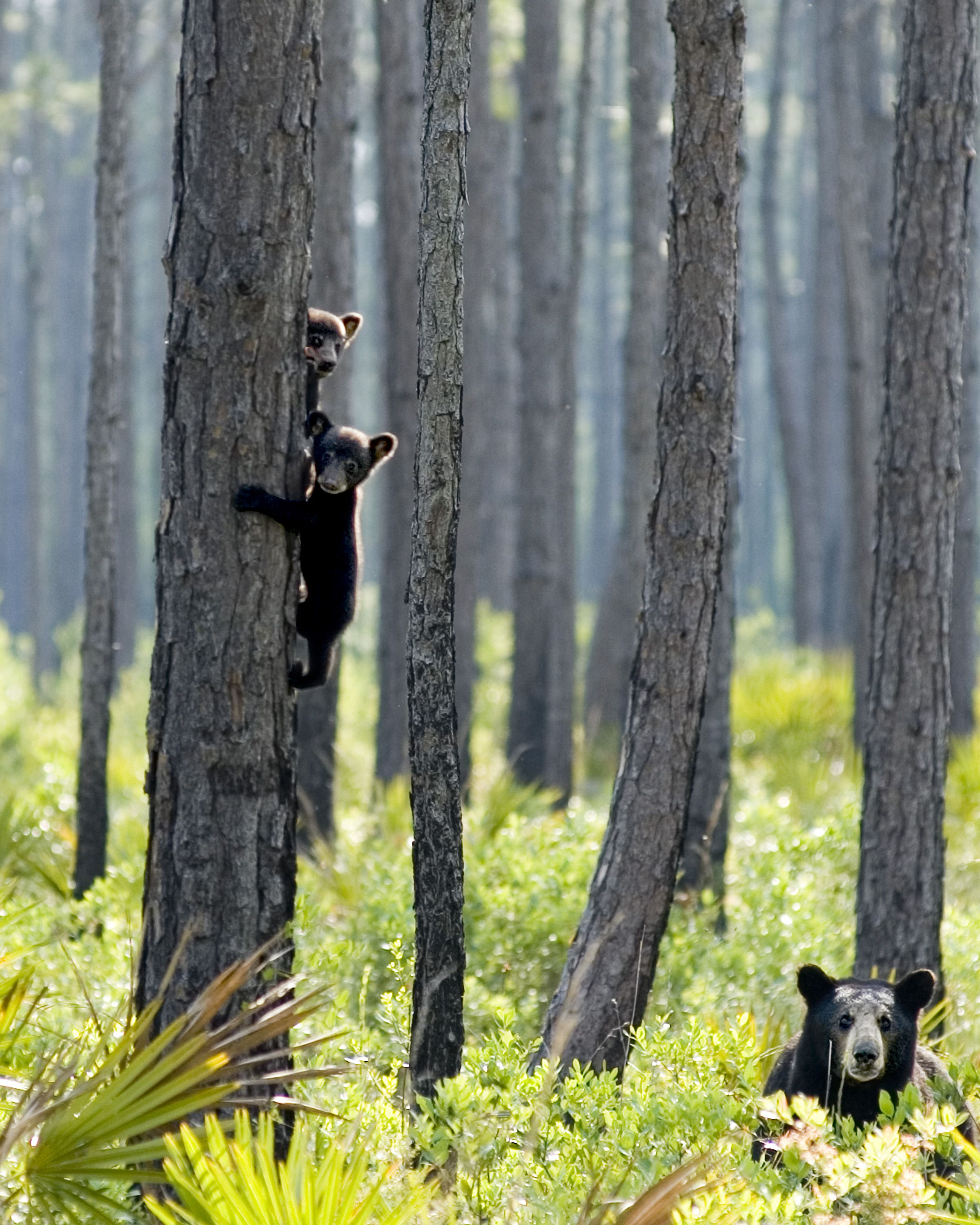 A mother black bear on the ground with cubs in a tree.