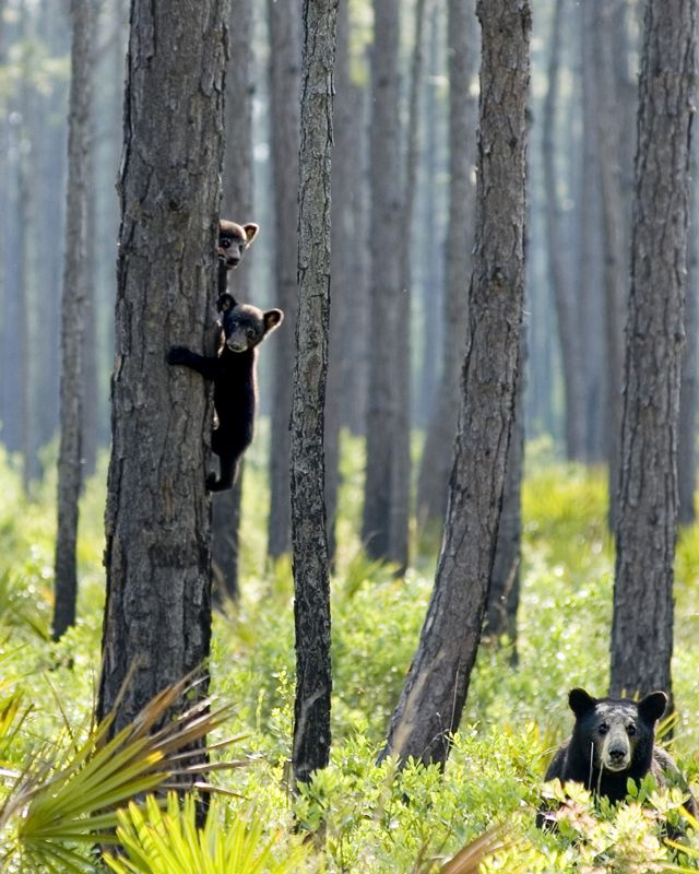 Florida black bear mother on the ground with her  two cubs clinging to a pine tree trunk.