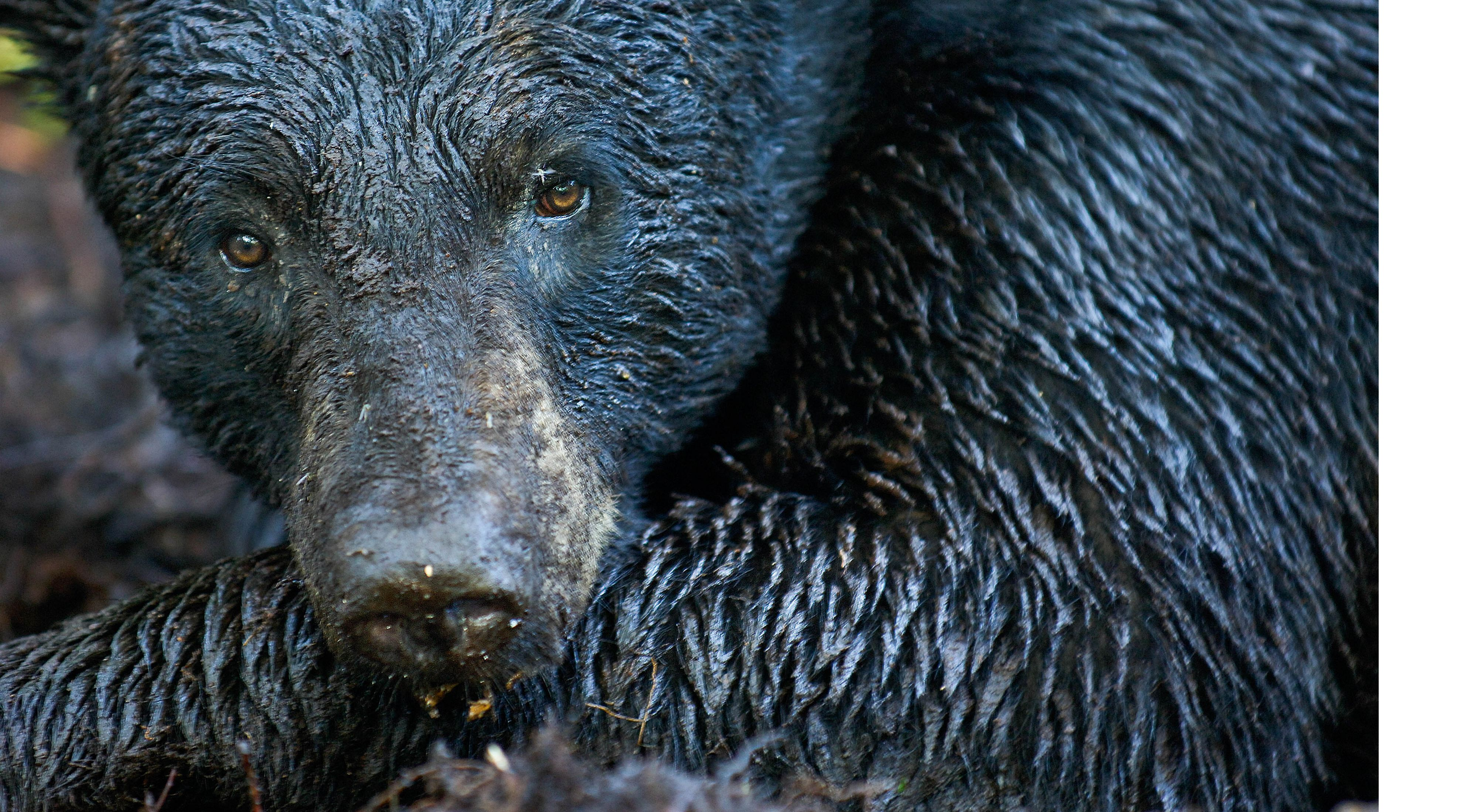 Closeup of the head and shoulder of a Florida black bear with wet, glistening fur.