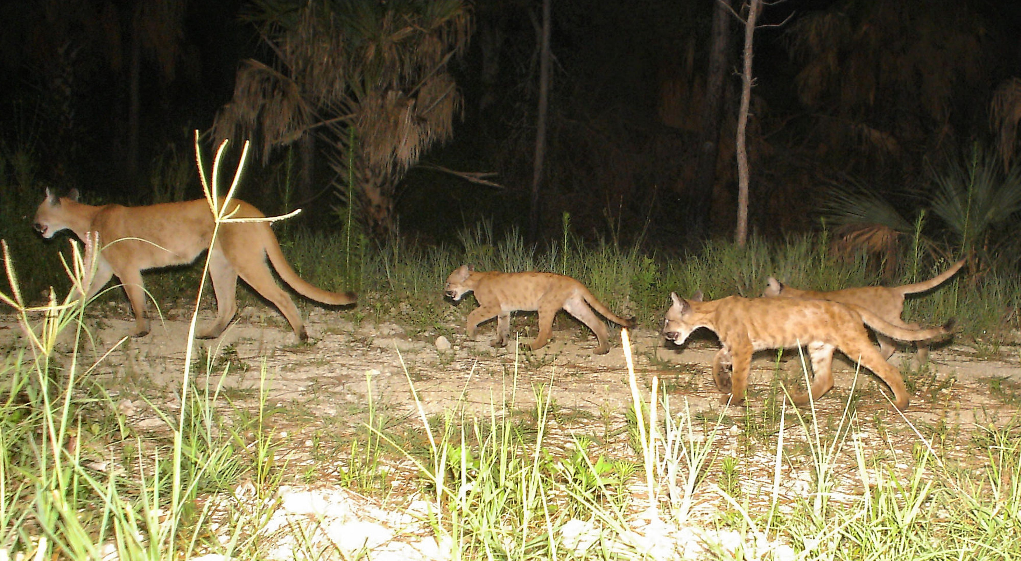 Panther mother with three kittens roaming in the wild in Florida.
