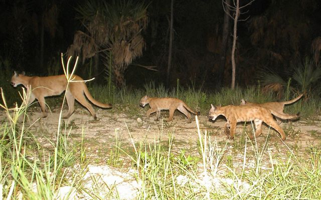Florida panther mother with kittens.