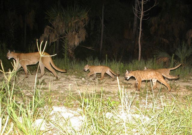 3 florida panther kittens with spotted coloration follow a female panther mother through grassy florida forest at night.