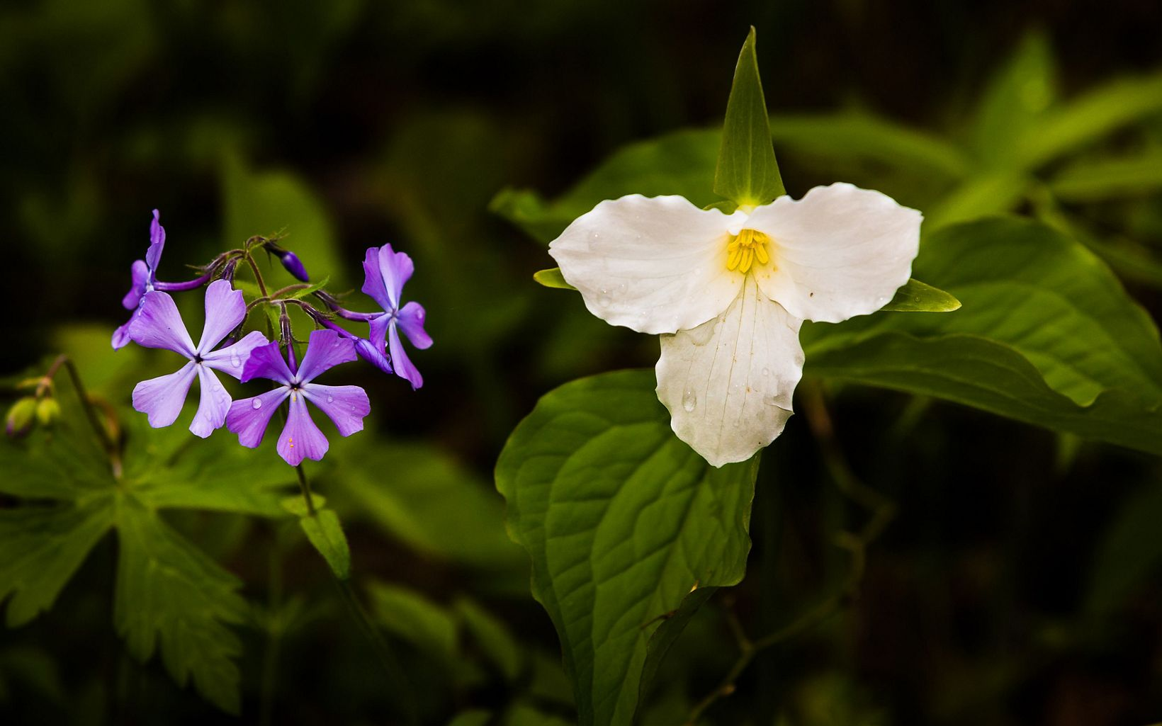 Trillium and blue phlox are just two of the flowers on display at Nan Weston Nature Preserve in the spring.