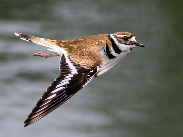 An adult killdeer flying over a body of water.
