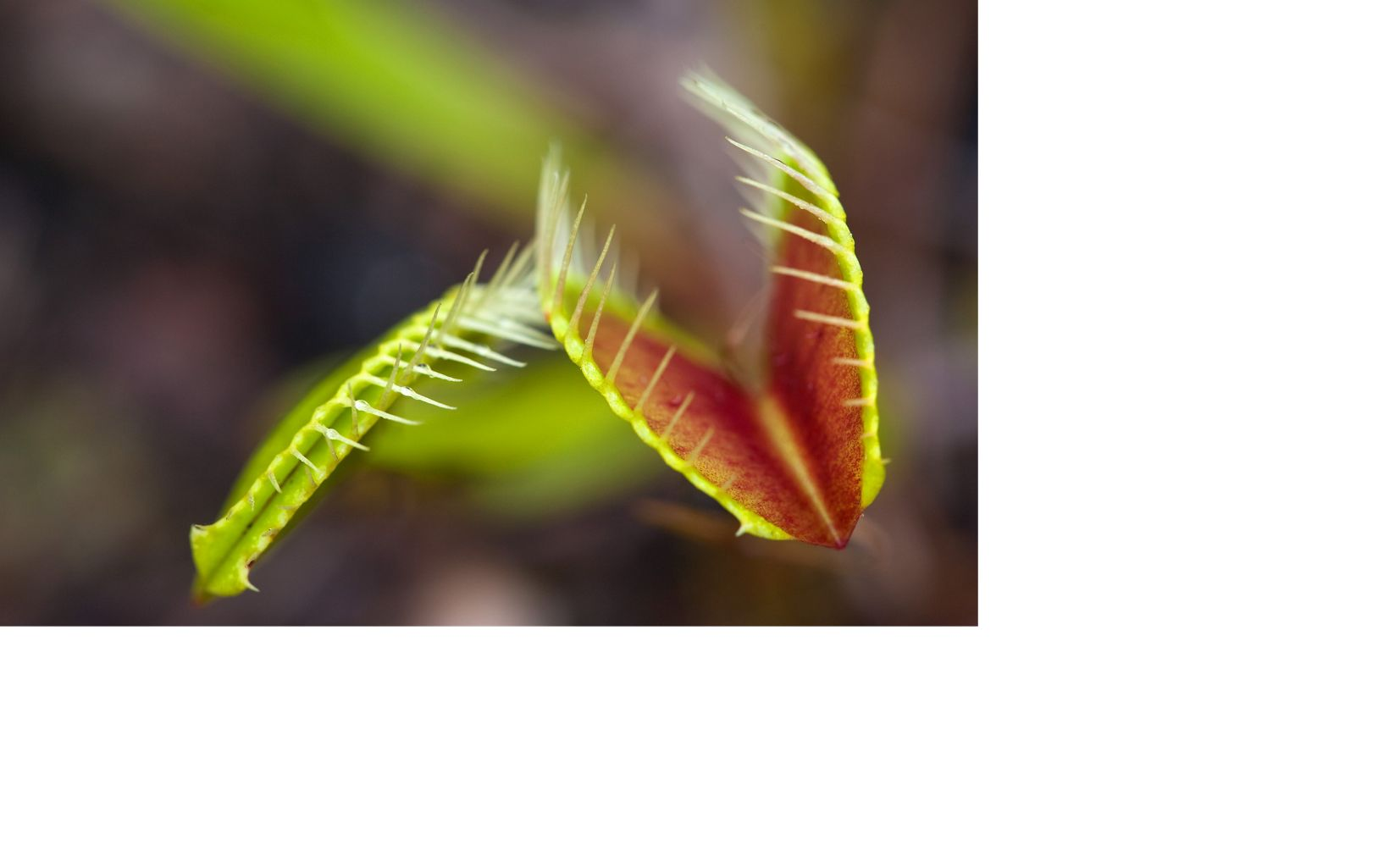 A flytrap in North Carolina's Green Swamp.