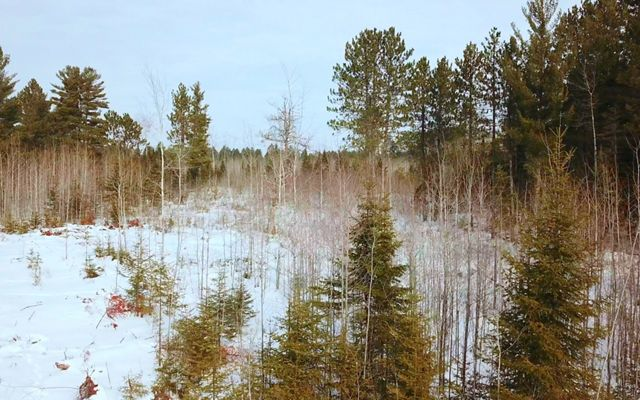 Ground-level view of a more diverse forest, which includes both different conifer species as well as diversity in age of trees.