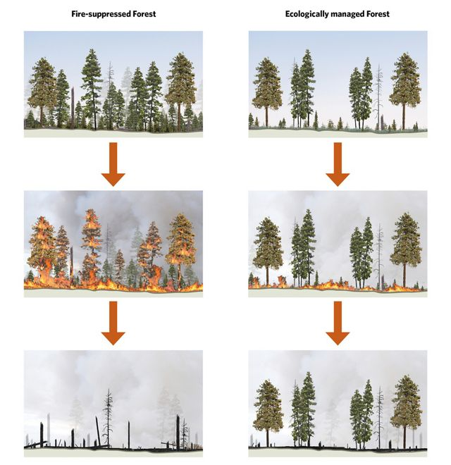 By thinning the forest understory, we can safely reintroduce fire as a restorative process. Fire suppressed forest on left. Ecologically thinned forest on right.