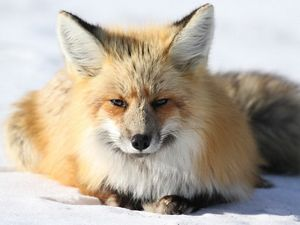A fox in the snow.