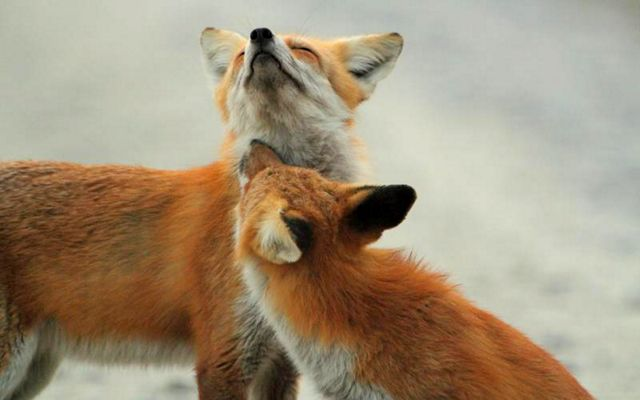 Two adult red foxes are surrounded by snow.