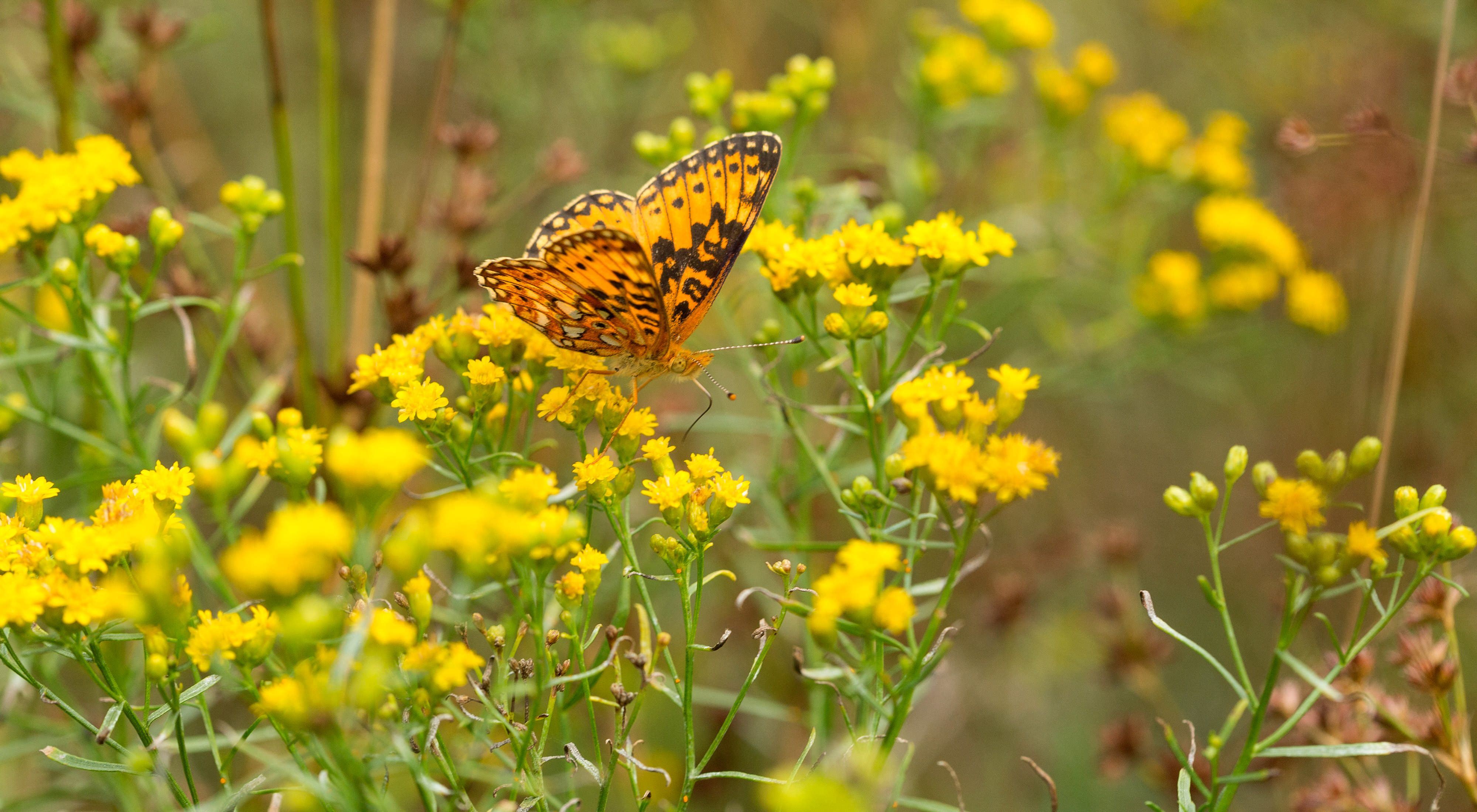 An orange and black butterfly sits on yellow wildflowers.