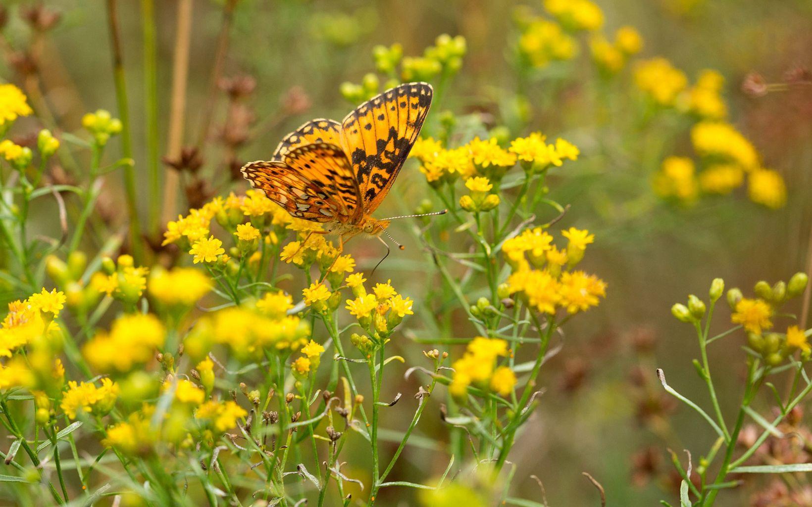 Fritillary butterfly enjoying wildflowers at Ross Coastal Plain Marsh Preserve.