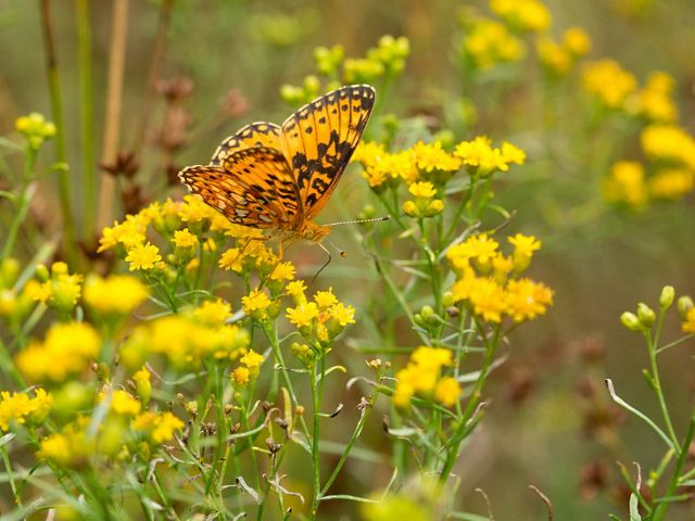 A delicate orange and black butterfly balances on a plant with small yellow flowers.