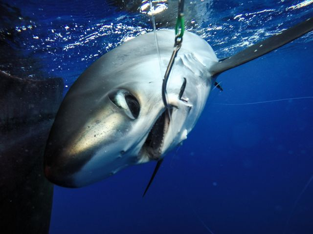 TNC is working with fishermen in Palau to test new fishing practices and methods to reduce bycatch, such as rays, turtles, and silky sharks.