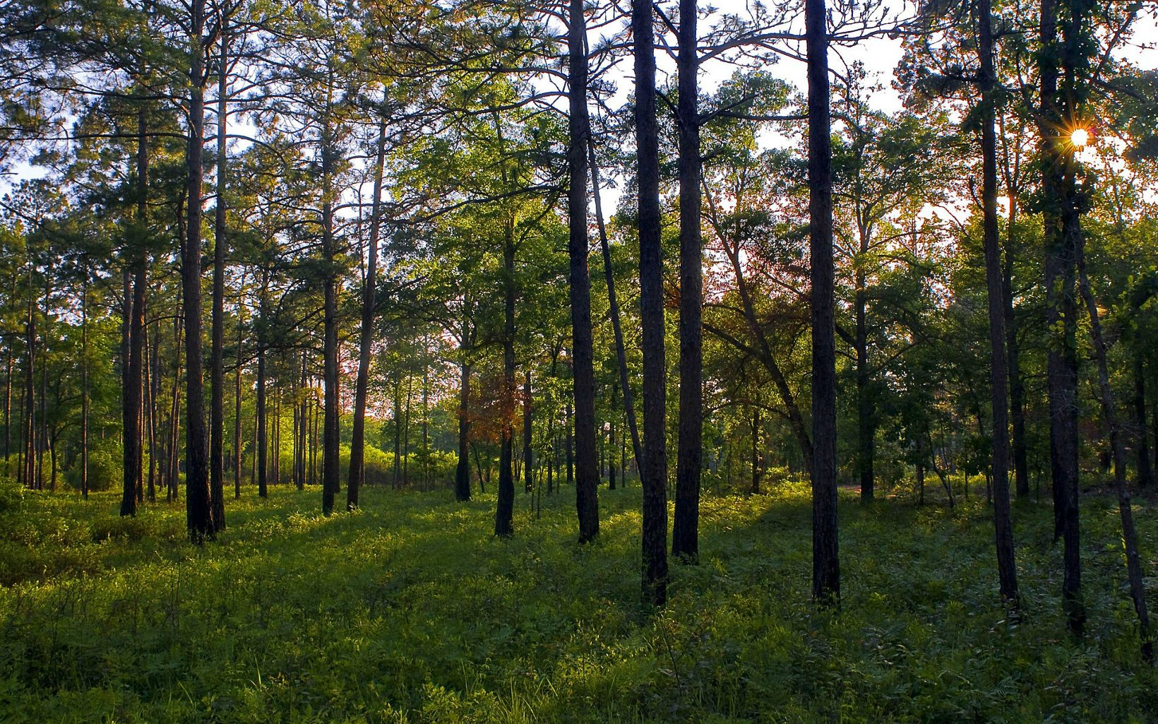 Mixed longleaf pine flatwoods at TNC's Williams Bluffs Preserve in Early County, Georgia.