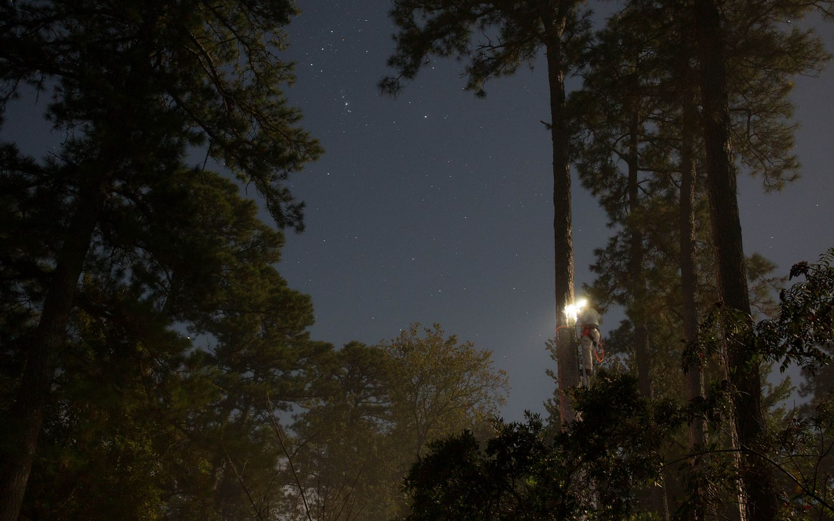 Nighttime view of a man standing at the top of a tall ladder braced against a pine tree. The light from his headlamp is a bright spot in the darkness. Stars are visible.