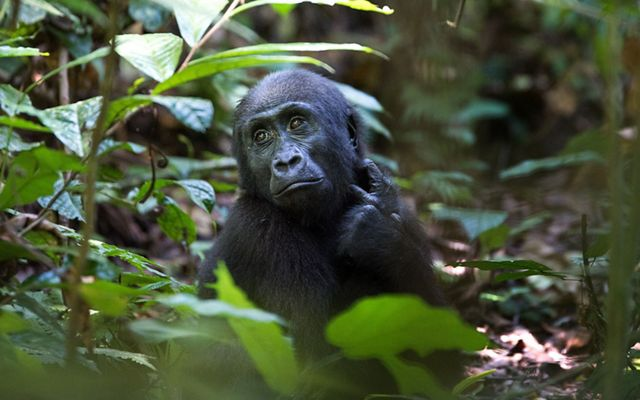 Critically endangered 4-year-old western lowland gorilla Ozavino is very playful and curious. Because he was born after the Loango Gorilla Project began, he is more accustomed to humans than the older gorillas.