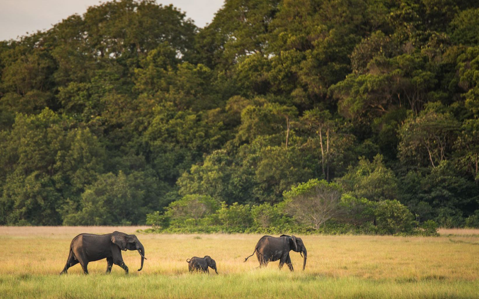 gabon elephants_940x600