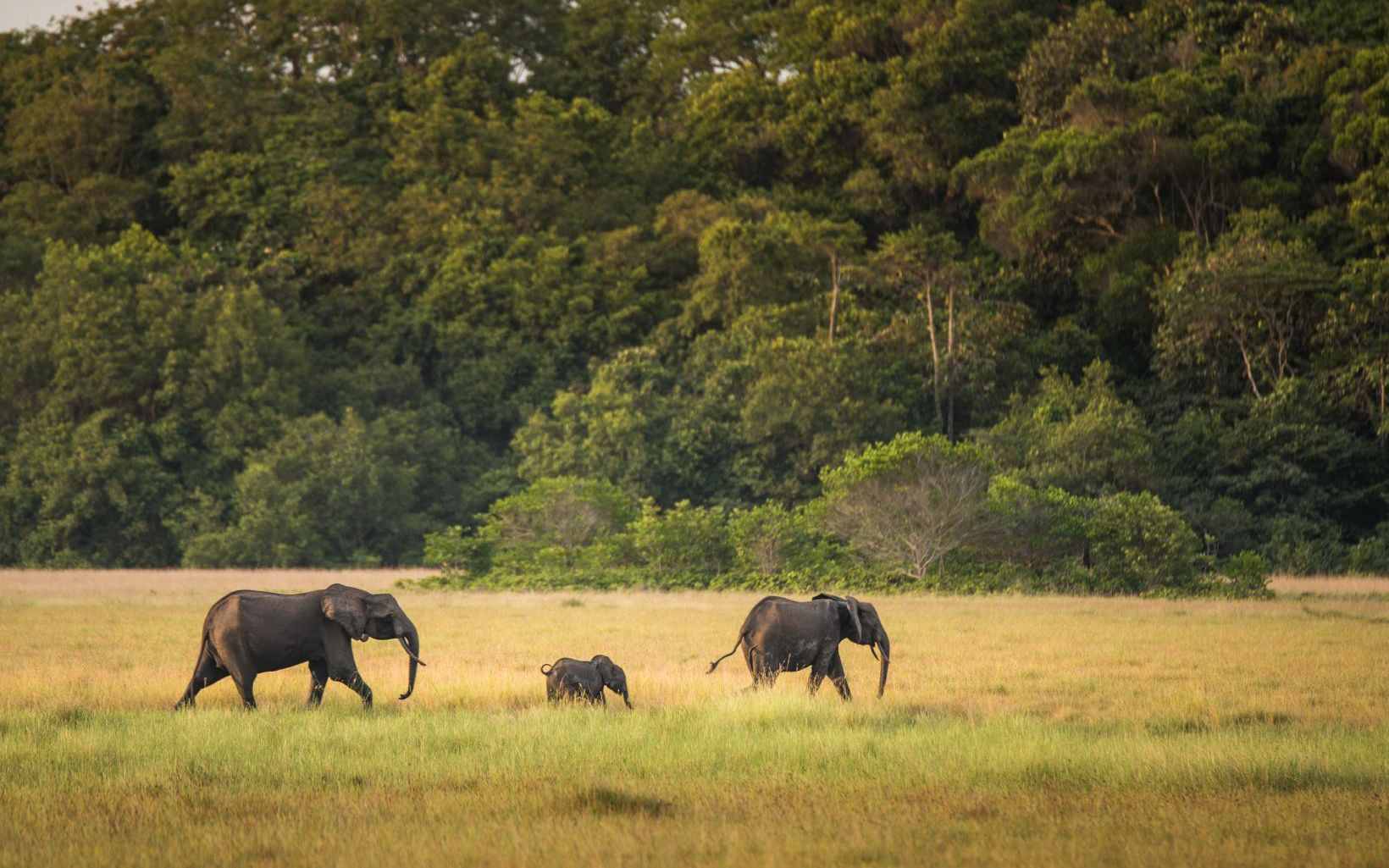 Forest elephants sighting in Loango National Park.