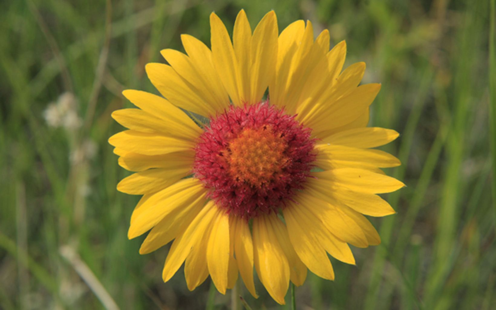 Part of the sunflower family, Gaillardia flowers are typically bright red with yellow tips.