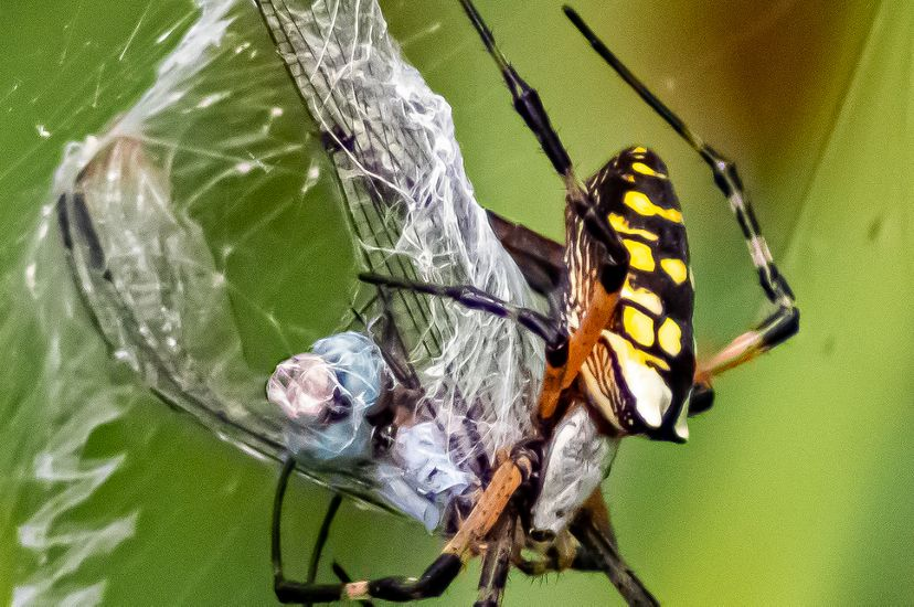 A black and yellow garden spider spinning a web around its insect prey.