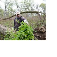 Man piles up leafy invasive plants in the spring woods