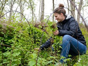 A women pulls invasive species in a wooded area.