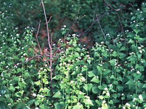invasive garlic mustard vines with white flowers