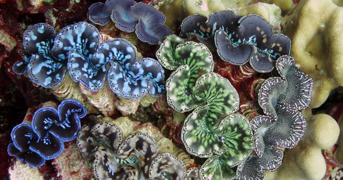 Palauan fisherman now farm giant clams.