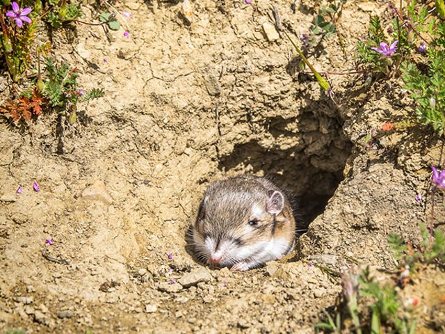 Peeking out of its burrow.