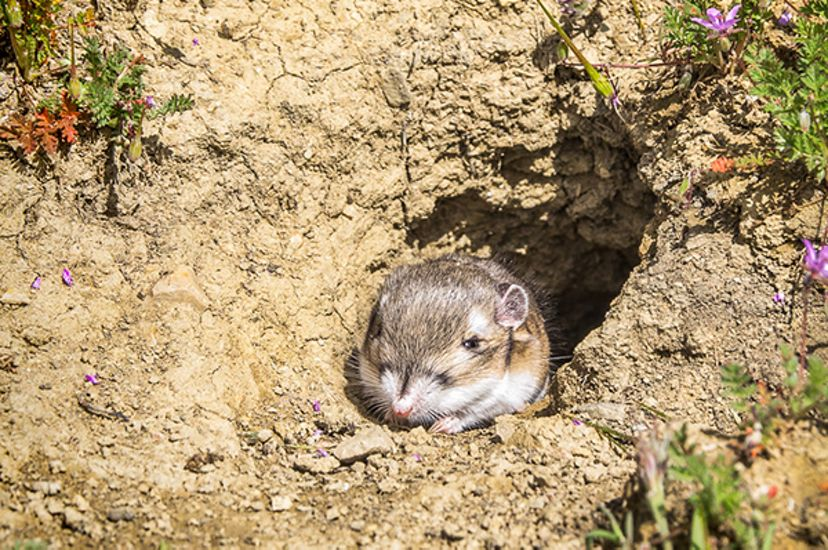 A small rodant at the mouth of a burrow in dry mud.