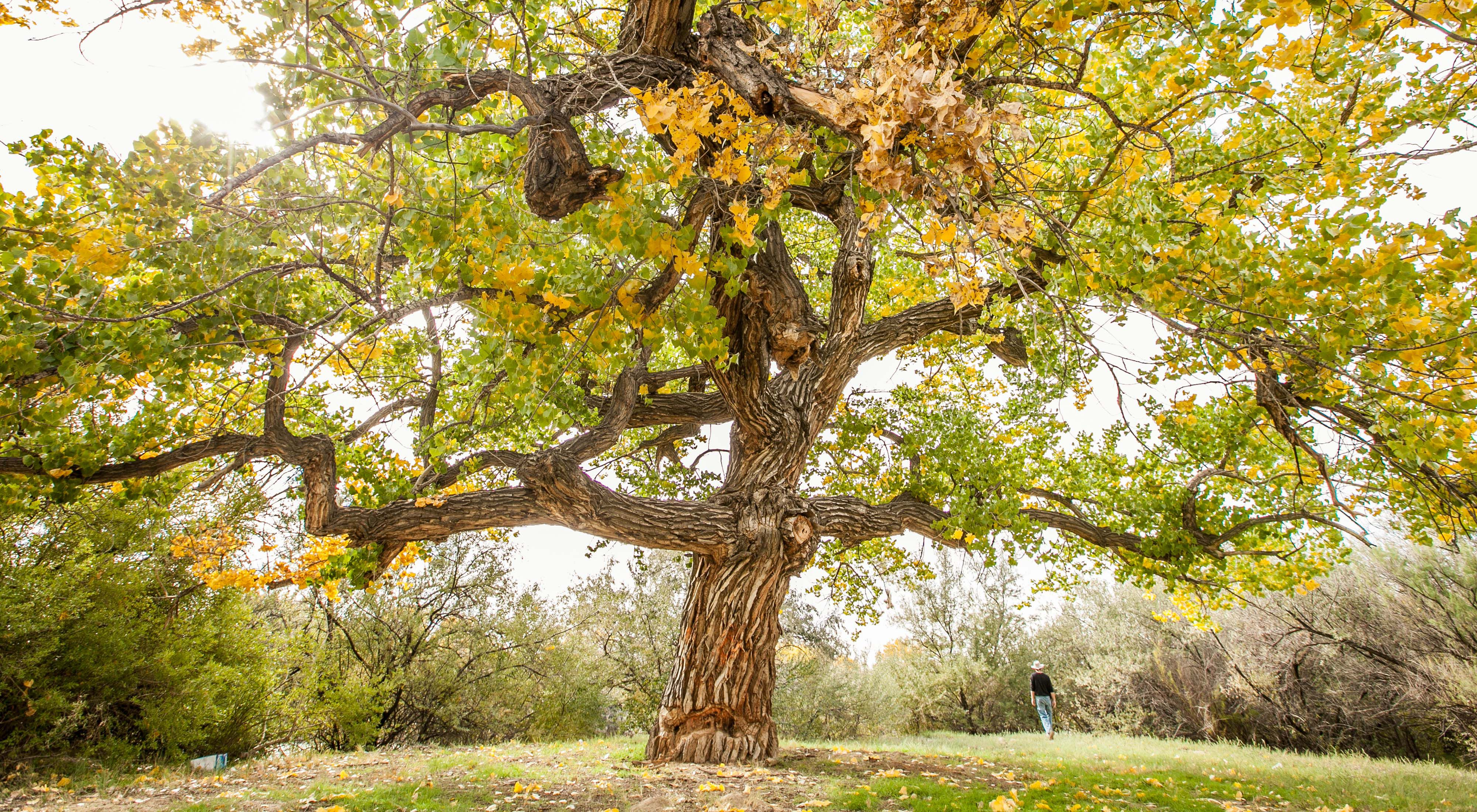 Beautiful old cottonwood tree in fall color near the San Juan River in New Mexico.