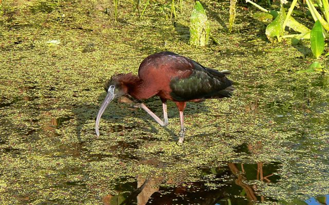 (ALL RIGHTS) Glossy ibis in Florida.