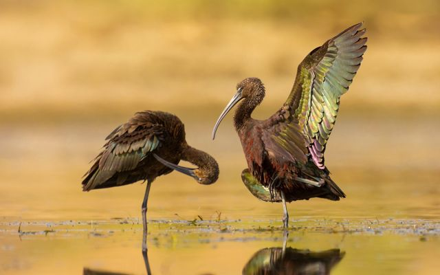Two adult glossy ibises in a freshwater pond.