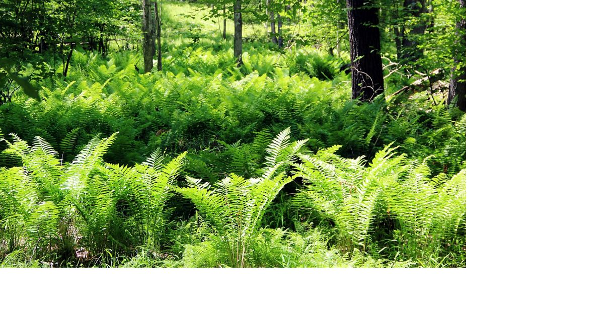 Green ferns line a forest floor.