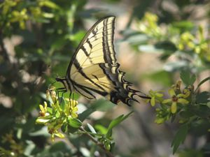 swallowtail butterfly on golden currant