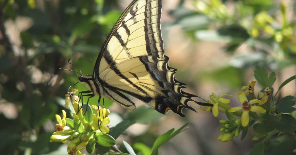 Two -tailed Swallowtail butterfly feeding on a blooming golden currant plant at TNC Ramsey Canyon Preserve.