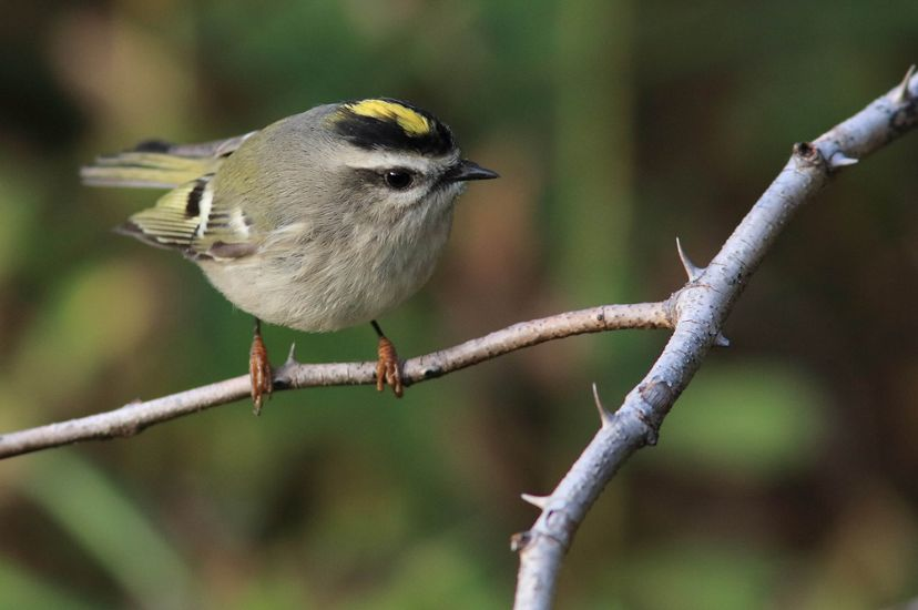 A small, rounded, light gray bird with a black cap and yellow stripe on its head and pale yellow wing feathers.