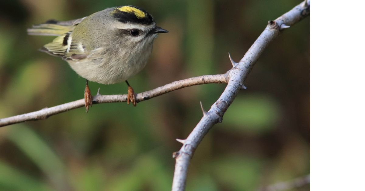 A close-up of a golden-crowned kinglet showing the yellow patch of feathers on the top of its head that lends to its name.